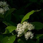 Silky Dogwood (c) Dendroica cerulea