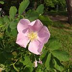 Pasture Rose (c) Jon Hayes